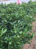 阿尔及利亚夏橙苗